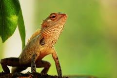 Kameleont som sitter ensamt ledset Fotografering för Bildbyråer