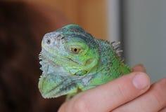 Kameleont - tropisk grön ödla Exotisk reptil royaltyfri bild