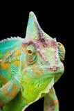 kameleont yemen Royaltyfri Fotografi