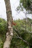 Kameleontart i Thailand sätta sig på filial i natur Arkivbilder