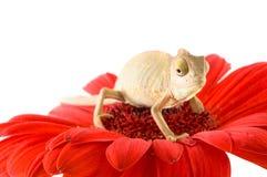 kameleontblomma fotografering för bildbyråer