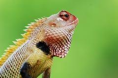 Kameleontcloseup Arkivfoton