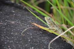 Kameleontcloseupsikt royaltyfri foto