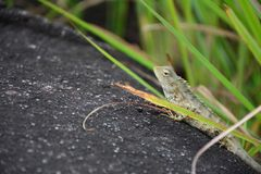 Kameleontcloseupsikt arkivfoto