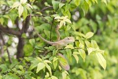 Kameleontdrake Royaltyfri Foto