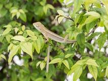 Kameleontdrake Royaltyfri Fotografi