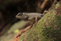 Kameleonten blir fortfarande på stammen av trädet Arkivfoto