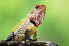 Kameleonten Heads upp Fotografering för Bildbyråer