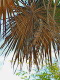 Kameleonten klättrar palmbladen Fotografering för Bildbyråer