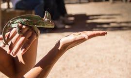 Kameleonten precis innan den jagar, avmaskar på woman& x27; s-hand fotografering för bildbyråer