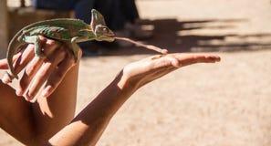 Kameleonten precis innan den jagar, avmaskar på woman& x27; s-hand, med dess tunga ut royaltyfri foto