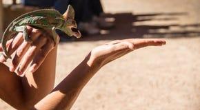 Kameleonten precis når den har jagat, avmaskar på woman& x27; s-hand Starta att klibba ut hans tunga royaltyfri foto