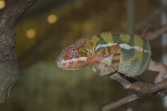 Kameleonten sitter på en filial Fotografering för Bildbyråer