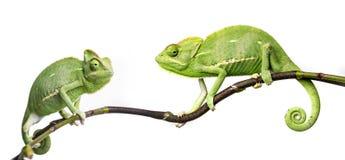 Kameleonter Arkivfoton