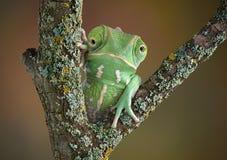 Kameleontgroda Fotografering för Bildbyråer