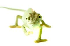 kameleontisoleringswhite arkivbilder