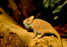 Kameleontkrypning på en sten Arkivbilder