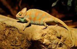 Kameleont på en sten Royaltyfri Foto