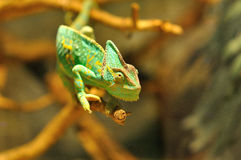 Kameleonten förgrena sig på Fotografering för Bildbyråer