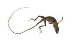 Kameleontlik Fotografering för Bildbyråer