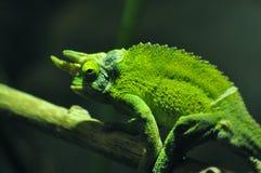 Kameleontsammanträde på en filial arkivfoton