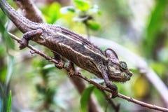 Kameleontsammanträde på en filial royaltyfri foto