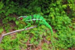 Kameleontsammanträde på filial Royaltyfri Foto
