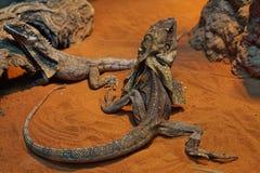 Kameleontshow det tillbaka till och med skärm i zoo royaltyfri fotografi