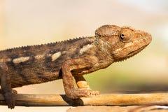 Kameleontstående Arkivfoto
