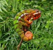 kameleonu furcifer pardalis Zdjęcia Royalty Free