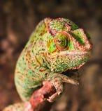 Kameleonu kolor siedzi n fotografia royalty free