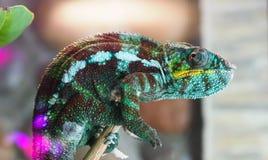 Kameleonu kolor siedzi n fotografia stock