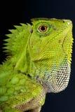 Kameleonu lasowy agama, Gonocephalus chamaeleontinus/ Obrazy Royalty Free