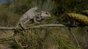 Kameleonu linienie zbiory wideo