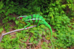 Kameleonu obsiadanie Na gałąź Zdjęcie Royalty Free