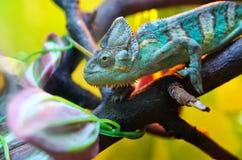 Kameleonu obsiadanie na gałąź Mimetyzm pod kolorowym środowiskiem zdjęcie royalty free