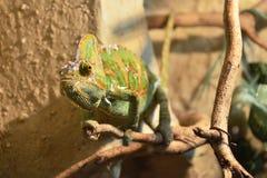 kameleonu odprowadzenie Fotografia Royalty Free
