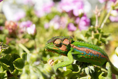 Kameleonu odprowadzenie przez liście i płatki Zdjęcie Royalty Free