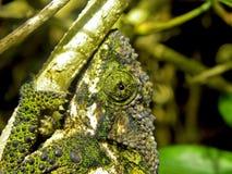 kameleonu oko Zdjęcie Royalty Free