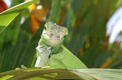 kameleonu ono uśmiecha się Zdjęcia Stock