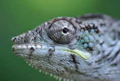 kameleonu pantery portret Fotografia Stock