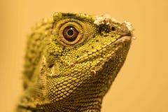 Kameleonu smoka Gonocephalus Lasowy chamaeleontinus zdjęcie stock