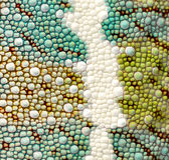 kameleonu szczegółu pantery skóra zdjęcia royalty free