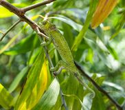 Kameleonu Unguja Zanzibar wyspa Tanzania Afryka Wschodnia zdjęcie stock