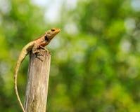 Kameleonu wywyższanie Obraz Stock