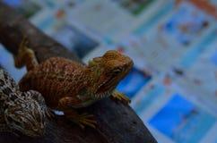 kameleony Obraz Stock