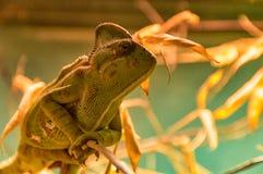 Kameleonzitting op een tak Royalty-vrije Stock Foto's
