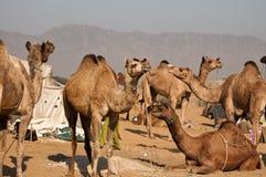 kamelförsäljning royaltyfri bild