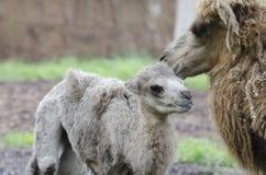 Kamelflüstern Stockfotografie