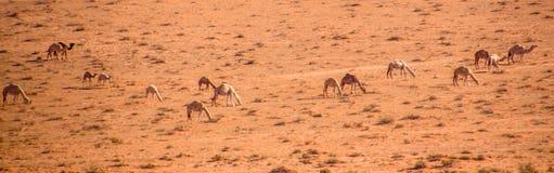 Kamelflock som betar i Wadi Rum arkivfoton
